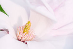 Flower Of A Magnolia Tree Royalty Free Stock Photos
