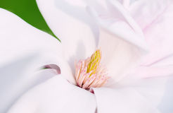 Flower Of A Magnolia Tree Royalty Free Stock Image