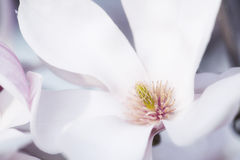 Flower Of A Magnolia Tree Stock Images
