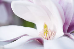Flower Of A Magnolia Tree Stock Image