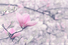 Flower of magnolia tree in spring garden. One flower of blossoming magnolia tree in springtime Stock Images