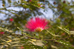 Flower of Malacca apple Royalty Free Stock Images
