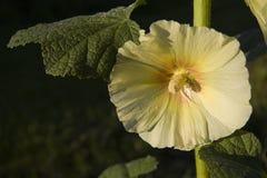 Flower mallow Royalty Free Stock Photos