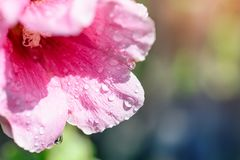 Flower mallow red in water drops, macro, blurred background.  Stock Image