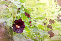 A flower mallow on a stalk among other identical plants. Stock Images