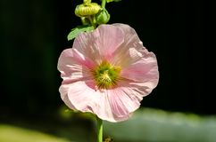 Flower mallow with white and pink petals close-up stock photo