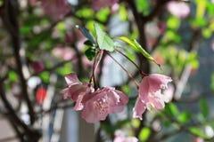Flower of Malus Halliana. Malus halliana flower under sunshine in spring Royalty Free Stock Images