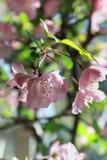 Flower of Malus Halliana. Malus halliana flower under sunshine in spring Stock Photos