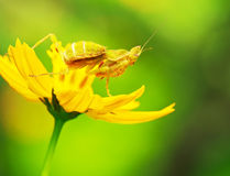 Flower Mantids Royalty Free Stock Photos