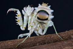 Flower Mantis. The Asian flower mantis is an almost ET creature and an extreme predator Stock Photos