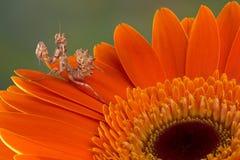 Flower mantis on petal Royalty Free Stock Photography