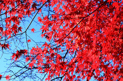 Flower maple, red. In japan royalty free stock images