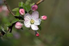 Flower, March, Spring, Petals, Bud Royalty Free Stock Photography