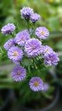 Flower. Margaret background purple nature royalty free stock photos
