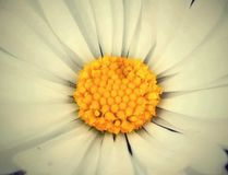 Flower margareta. Detail of a white margaret flower Royalty Free Stock Photo