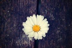 Flower margareta. White flower margareta. growing in the spring Stock Photography