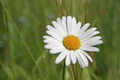 Flower of a margerite Stock Image
