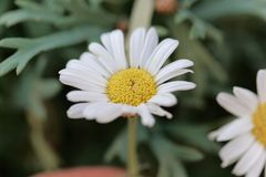 Marguerite daisy Argyranthemum frutescens. Flower of a marguerite daisy Argyranthemum frutescens bush royalty free stock photo