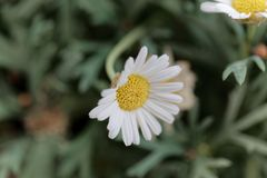Marguerite daisy Argyranthemum frutescens. Flower of a marguerite daisy Argyranthemum frutescens bush stock photography