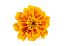 Flower - marigold Stock Photography