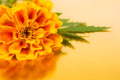 Flower marigold Royalty Free Stock Photo