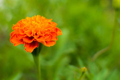 Flower Marigold on a green blurry background. Royalty Free Stock Photography