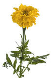 Flower of marigold, lat.Tagetes, isolated on white background Royalty Free Stock Photo