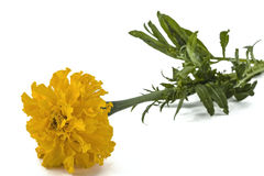 Flower of marigold, lat.Tagetes, isolated on white background Stock Images