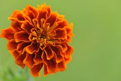 Flower of Marigold.(Tagetes). Flower of Tagetes on green background. Macro stock photo