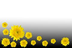 Flower Marigold yellow Stock Images