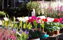 Flower Market with Potted Plants in Aix en Provence. Cyclamen, orchids and and amaryllis plants for sale at an outdoor flower market in Aix en Provence, France Stock Photo