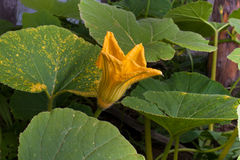 Flower of marrow squash in the garden Royalty Free Stock Photo
