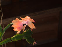 Flower-of-May, Schlumbergera truncata, bud and flowers on dark background. Flower-of-May, Schlumbergera truncata, bud and flowers in salmon color on dark Royalty Free Stock Photos