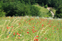 Flower Meadow Stock Images