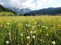Flower meadow by Alps Stock Photo