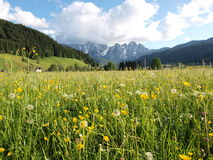 Flower meadow by Alps. Colorful wild flower meadow, by the  background of Alps.Shooting in Gosau village , a beautiful village of Austria Stock Photography