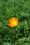 Flower at meadow Royalty Free Stock Photography