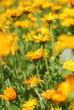 Flower meadow Royalty Free Stock Photo