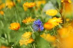 flower meadow Royalty Free Stock Image