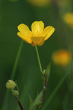 Flower of meadow buttercup (Ranunculus acris) Royalty Free Stock Image