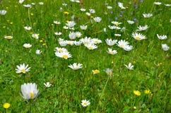 Flower meadow Stock Image