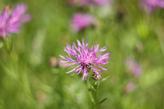 Flower of a meadow cornflower Royalty Free Stock Images