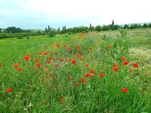 Flower meadow, Crimea. Motley grass, wild poppies. royalty free stock image