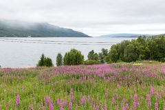 Flower meadow at a fjord on Lofoten, Nordland, Norway royalty free stock images