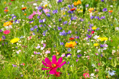 Flower meadow royalty free stock images