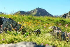 Flower meadow and mountains in background in spring. Flower meadow and mountains in background. Springtime or summer in the alps Royalty Free Stock Photo