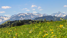 Flower meadow and mountains in background in spring. Flower meadow and mountains in background. Springtime or summer in the alps Royalty Free Stock Images