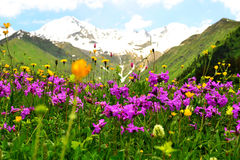 Flower meadow in mountains. Stock Photography