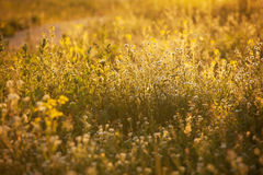 Flower meadow in the rays of the sun Royalty Free Stock Image