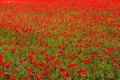 Flower meadow of red poppies Royalty Free Stock Photo